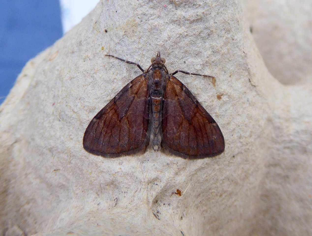 Pine Carpet Moth - Pennithera firmata