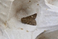 Unknown Moth 1