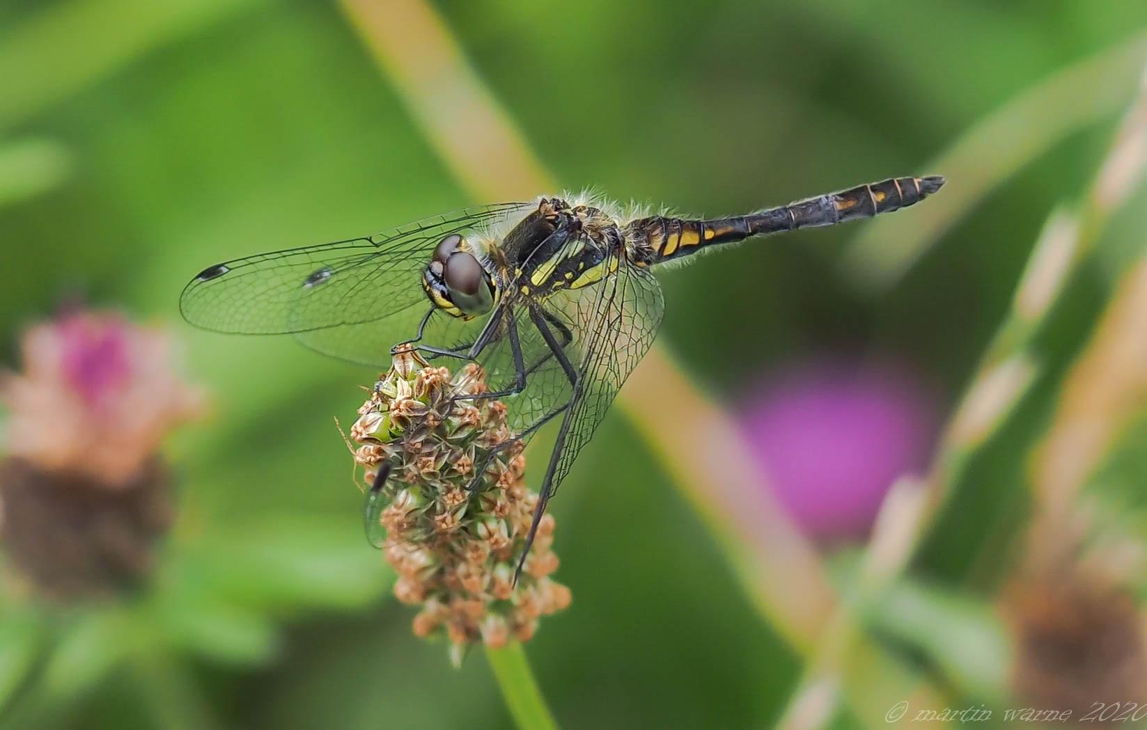 Sympetrum danae - Black Darter, Thorne Moor