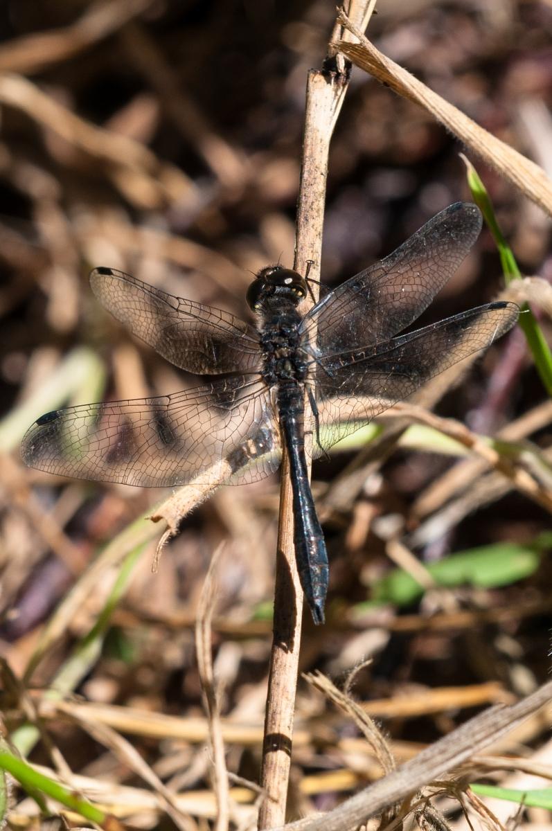 Sympetrum danae - Black Darter , Hatfield