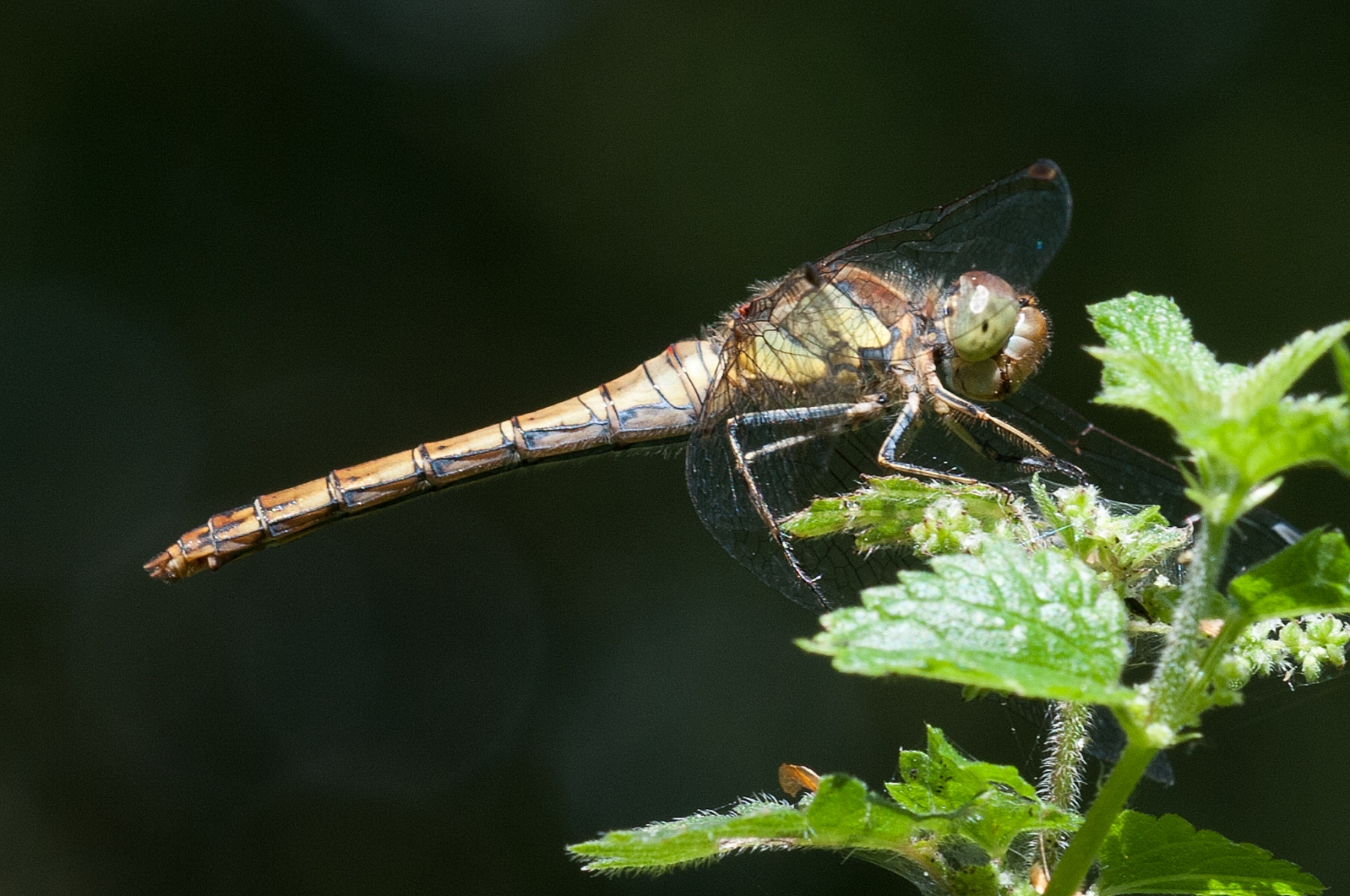 Sympetrum striolatum -  Common Darter (male),Danes Hill NR