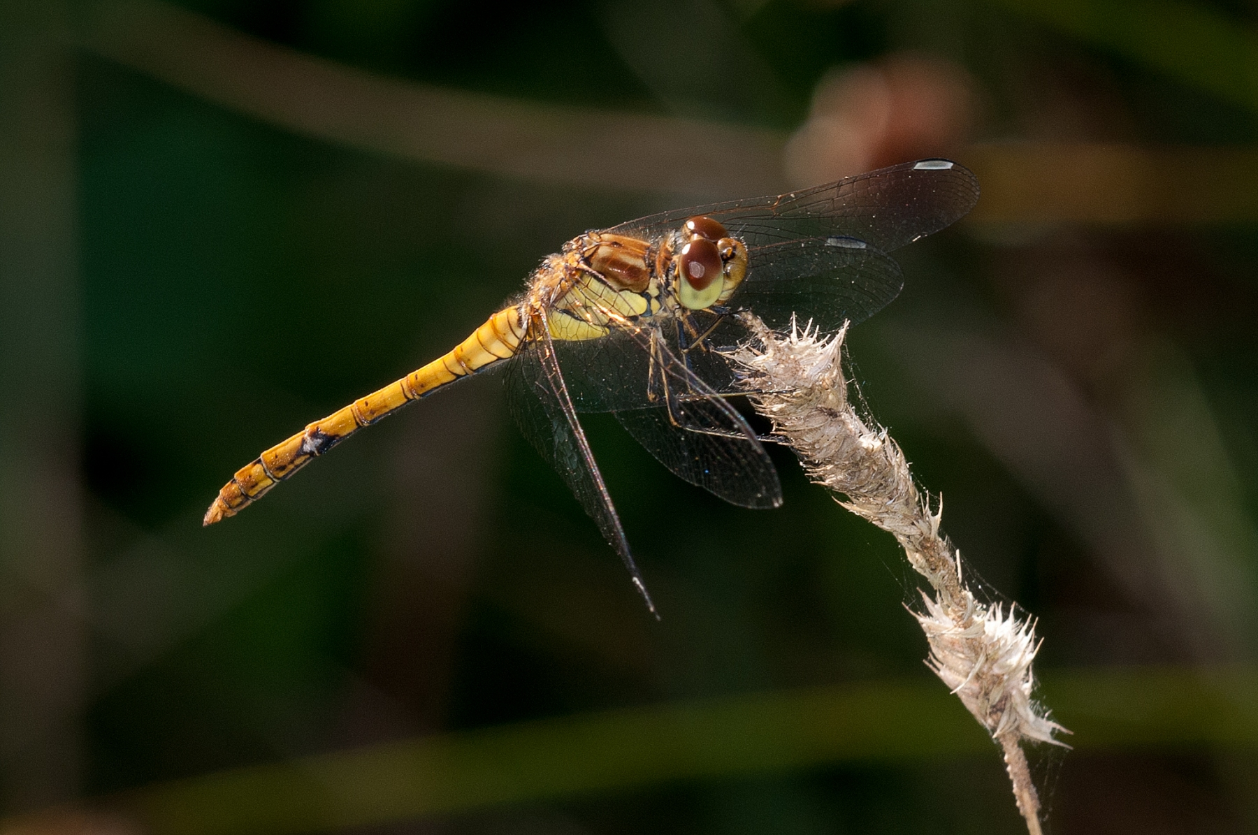 Sympetrum striolatum -  Common Darter (female), Lound