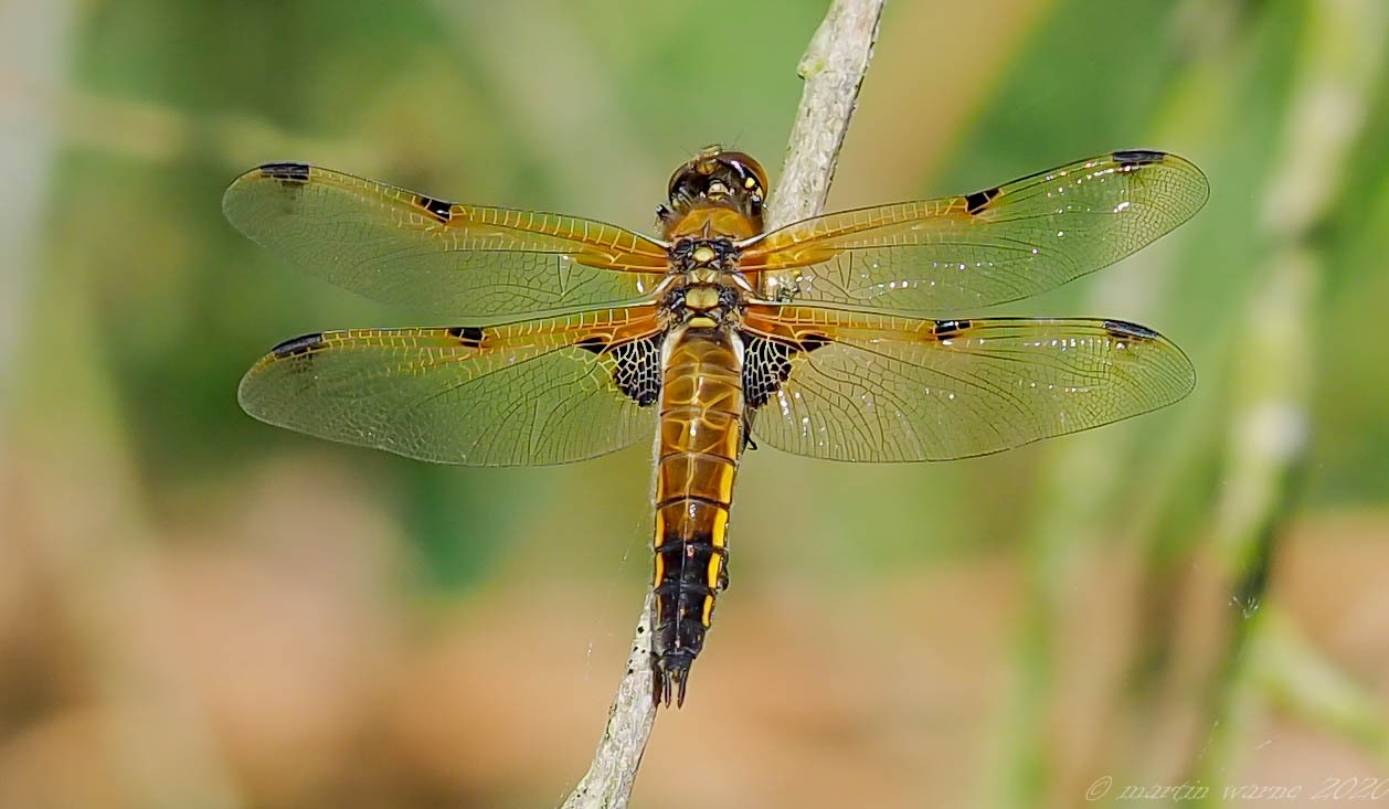 Libellula quadrimaculata -  Four-spotted Chaser, Thorne Moor