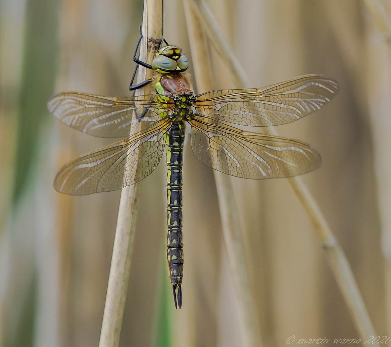 Brachytron pratense - Hairy Dragonfly (teneral female), Thorne Moor