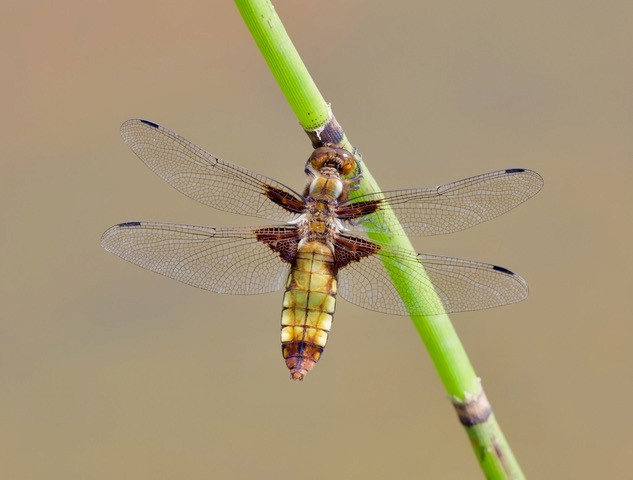 Libellula depressa - Broad-bodied Chaser, (female), Woodside Nurseries, Austerfield.