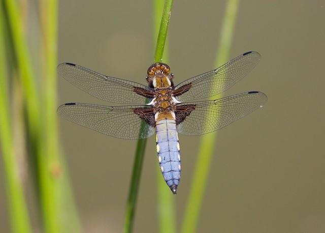 Libellula depressa - Broad-bodied Chaser, (male), Woodside Nurseries, Austerfield.