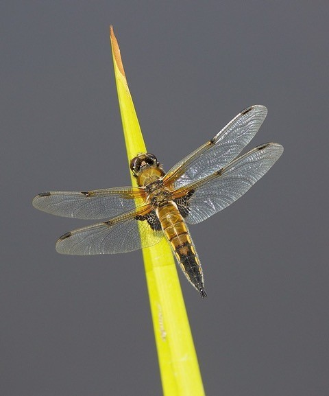 Libellula quadrimaculata - Four-spotted Chaser, Woodside Nurseries, Austerfield.