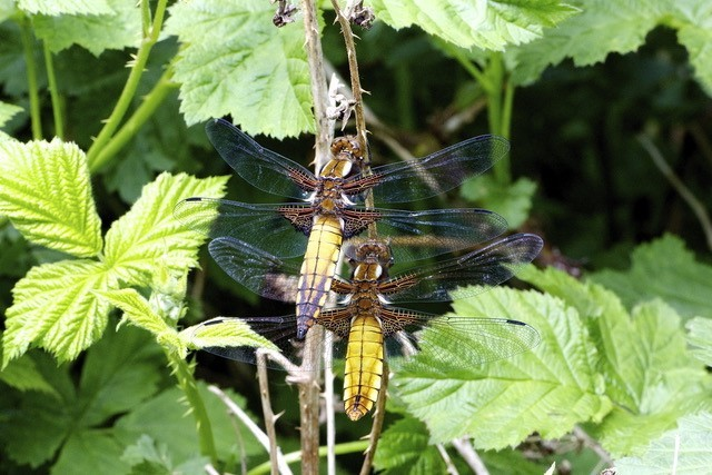 Libulella depressa - Broad-bodied Chasers, YWT Potteric Carr.