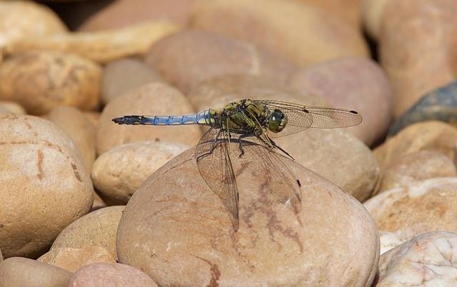 Orthetrum cancellatum - Black-tailed Skimmer, male, Woodside Nurseries, Austerfield.