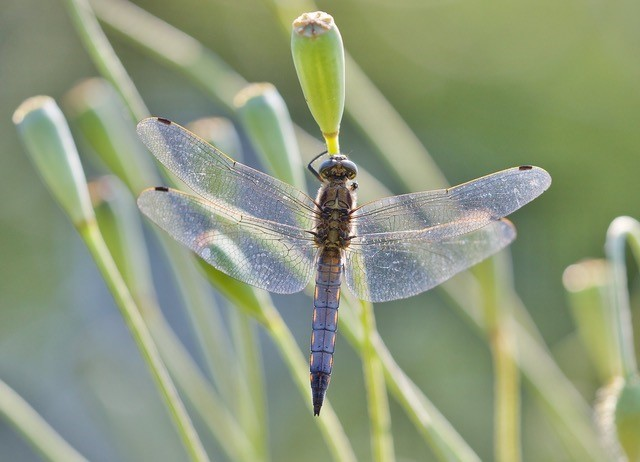 Orthetrum cancellatum - Black-tailed Skimmer, (male), Woodside Nurseries, Austerfield.