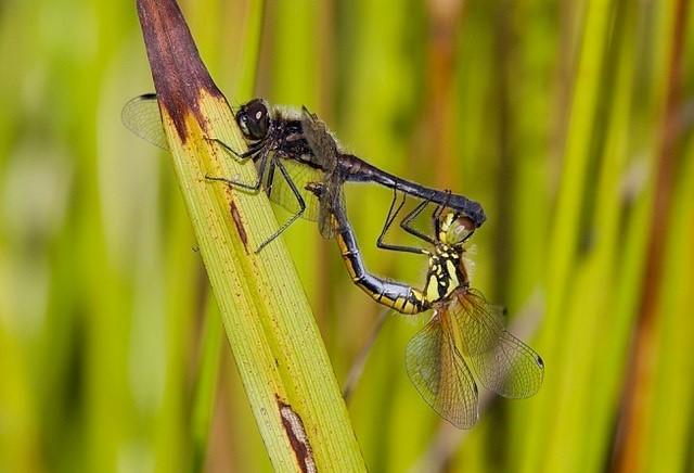 Sympetrum danae - Black Darter, Woodside Nurseries, Austerfield.