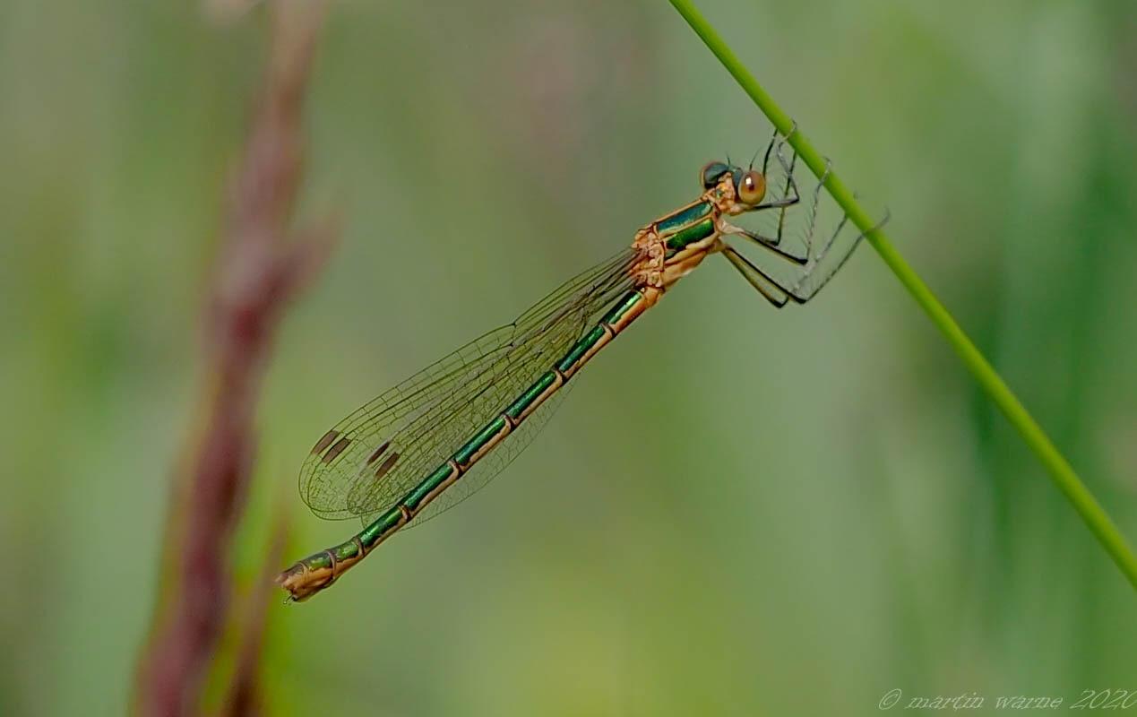 Lestes sponsa - Emerald-Damselfly, Thorne Moor