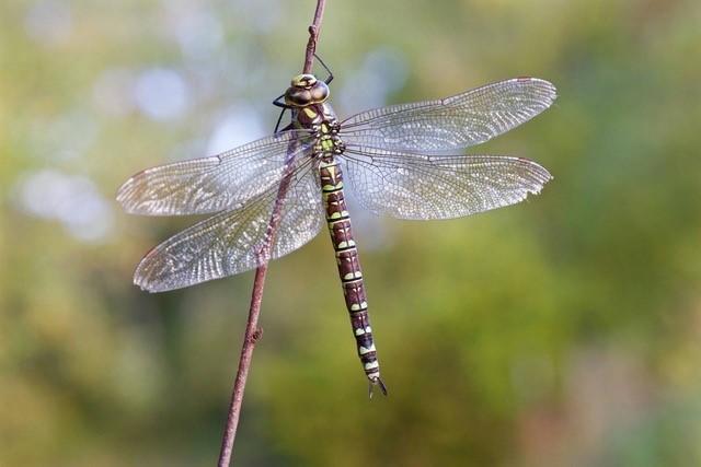 Aeshna cyanea, - Southern Hawker, (female), Gamston Wood, Notts.