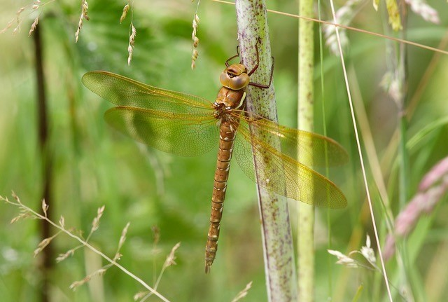 Aeshna grandis, - Brown Hawker, LWT Messingham Sand Quarry.