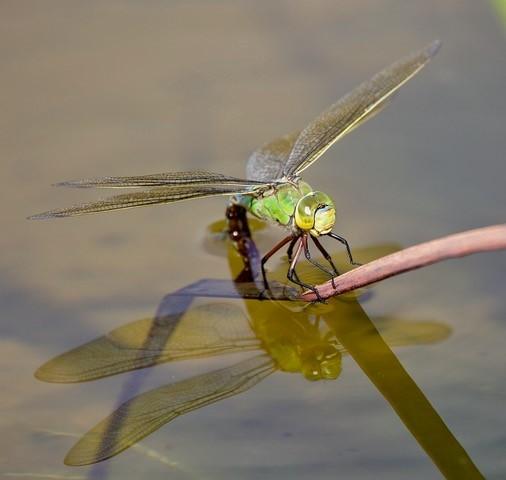 Anax imperator -Emperor Dragonfly, Woodside Nurseries, Austerfield.