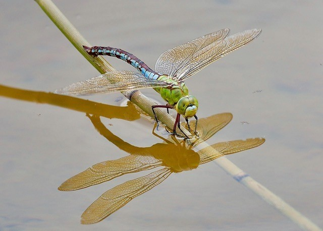 Anax imperator -Emperor Dragonfly, Woodside Nurseries, Austerfield.
