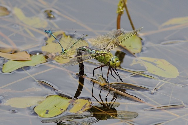 Anax imperator - Emperor Dragonfly, YWT Potteric Carr.
