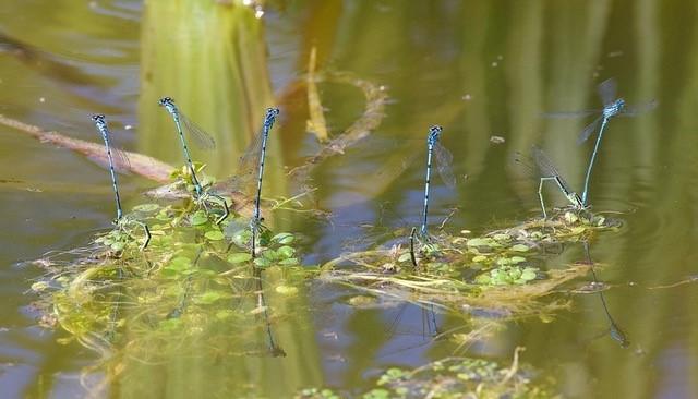 Coenagrion puella  - Azure Damselfly, Woodside Nurseries, Austerfield.