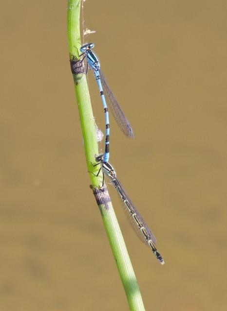 Enallagma cyathigerurm - Common Blue Damselfly, Woodside Nurseries, Austerfield.