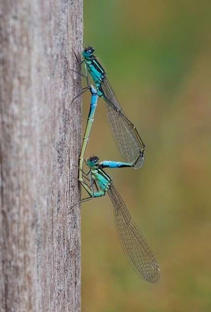 Ischnura elegans - Blue-tailed Damselflies, Woodside Nurseries, Austerfield.