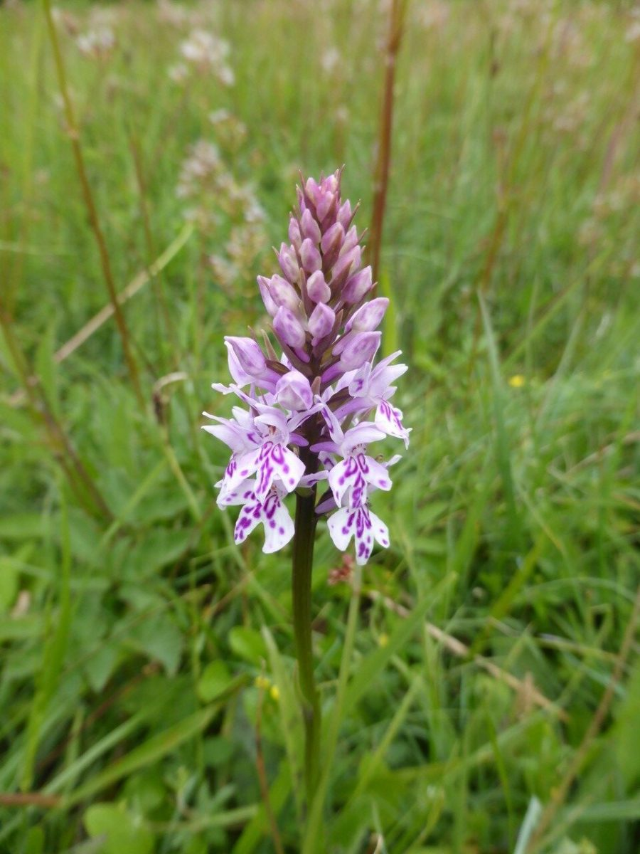 Common Spotted Orchid (Dactylorhiza fuchsia), Maltby Common.