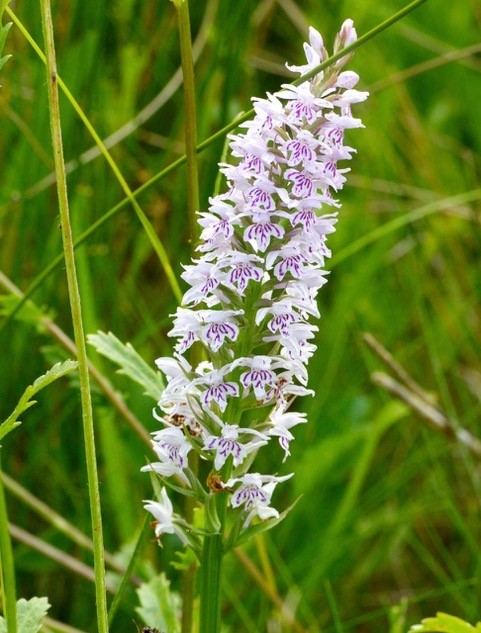 Common Spotted Orchid (Dactylorhiza fuchsii, YWT Potteric Carr.