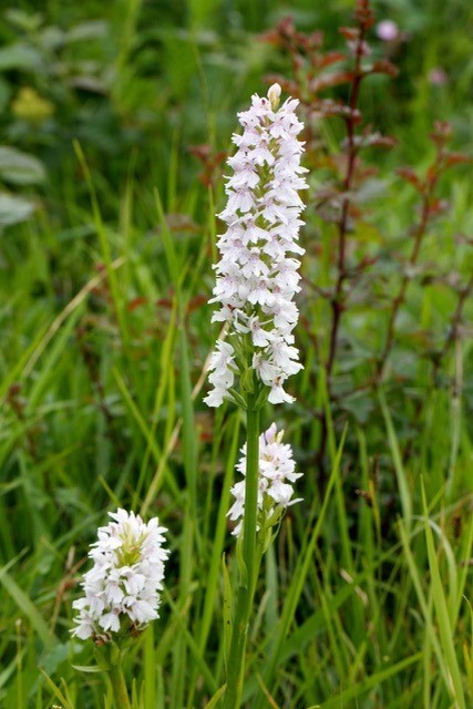 Common Spotted Orchid (Dactylorhiza fuchsii), white form, Lindrick.