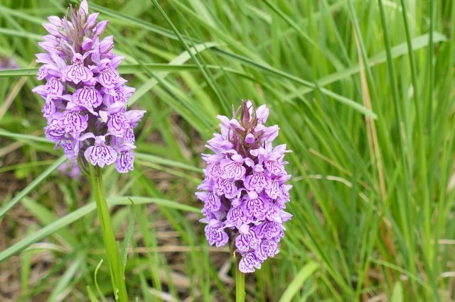 Common Spotted Orchid (Dactylorhiza fuchsii), Thorne Moor.