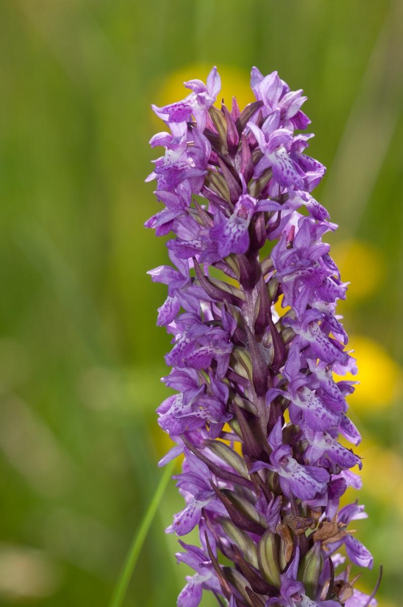 Northern Marsh Orchid (Dactylorhiza purpurella), Bevercotes Pit Wood, Notts.