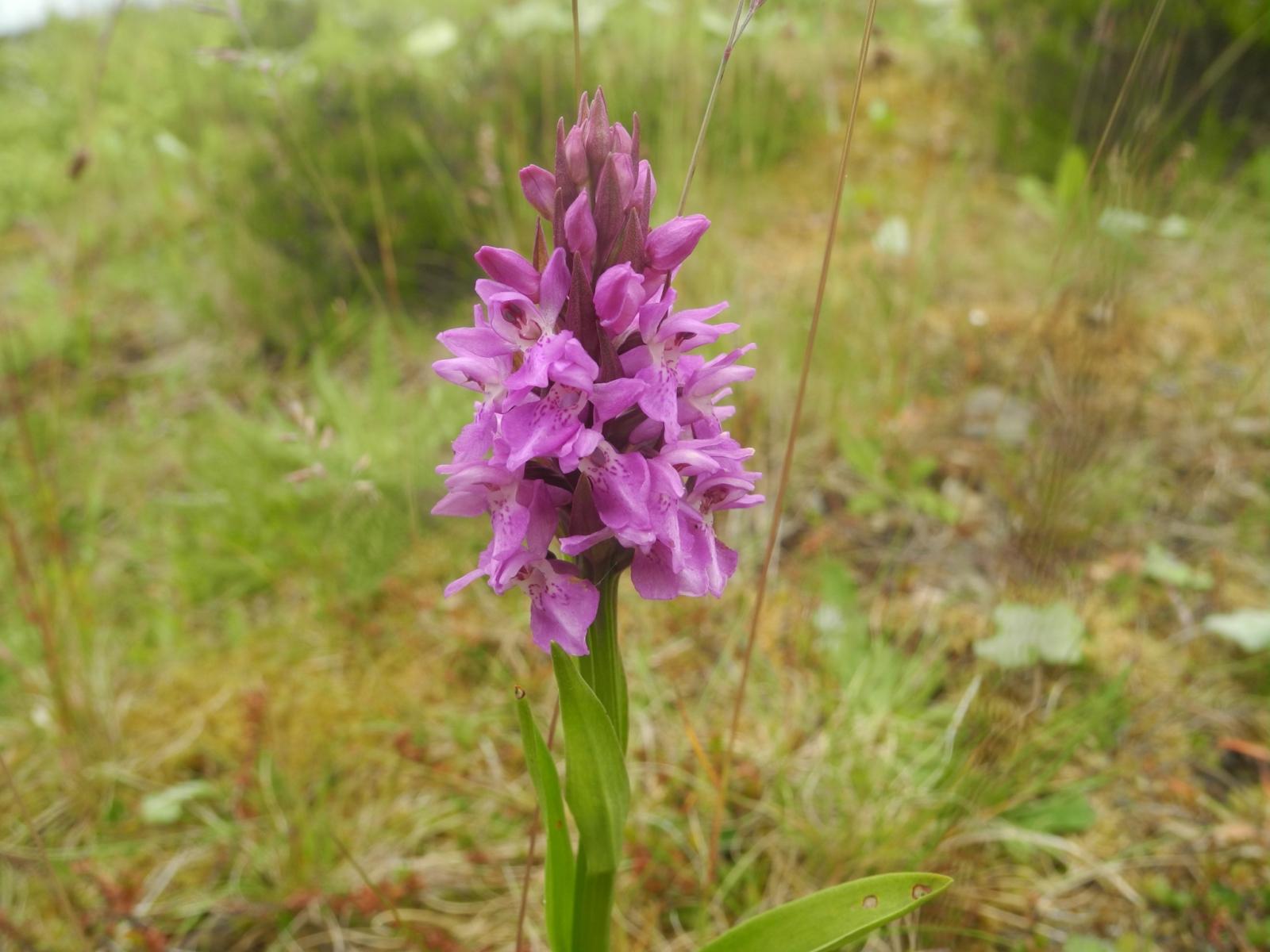 Southern Marsh Orchid (Dactylorhiza praetermissa), Pleasley Country Park, Derbys.