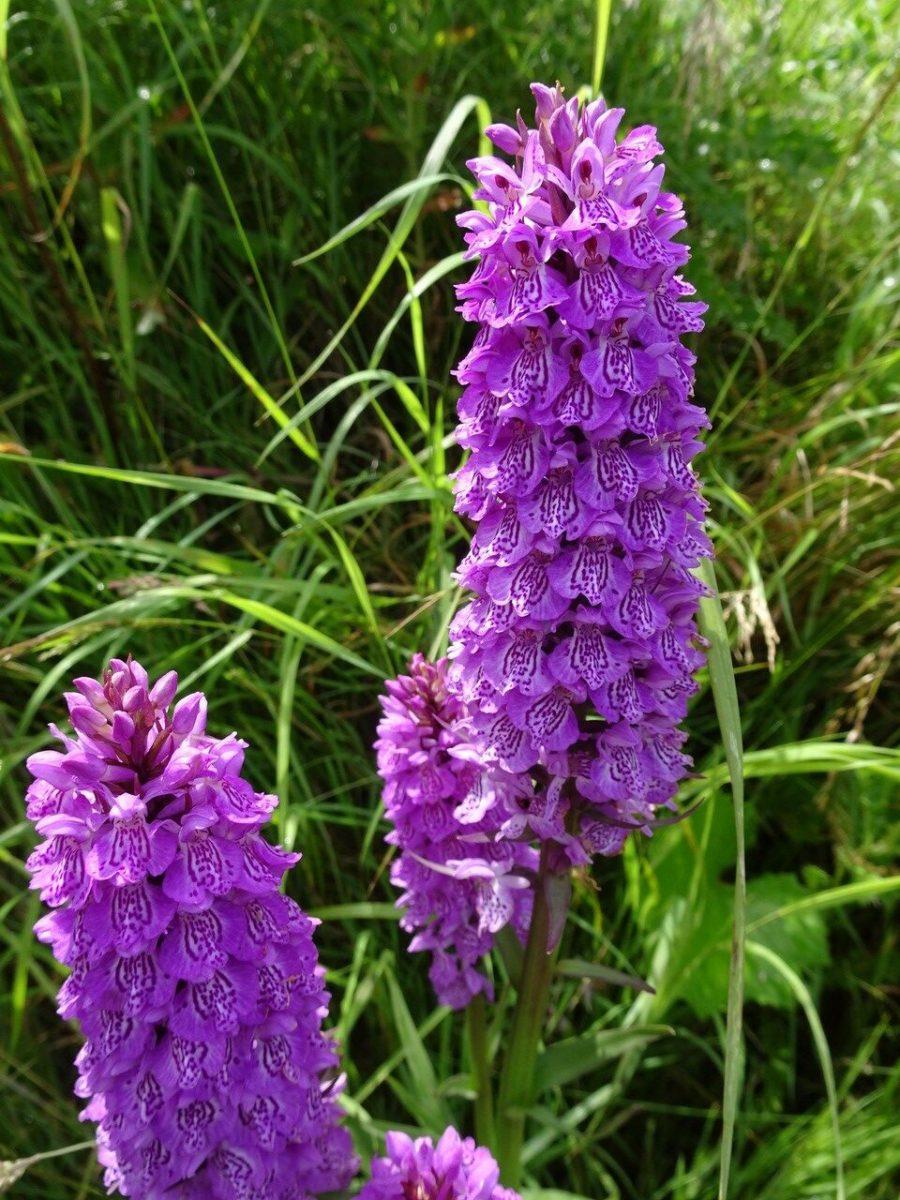 Southern Marsh Orchid (Dactylorhiza praetermissa), Edlington Pit Wood.