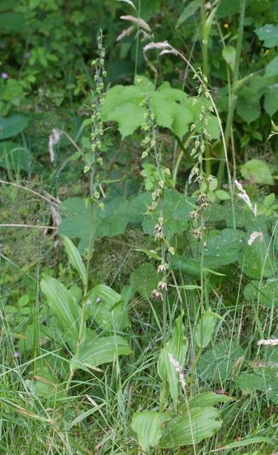 Broad-leaved Helleborine (Epipactis helleborine), Eaton and Gamston Woods.