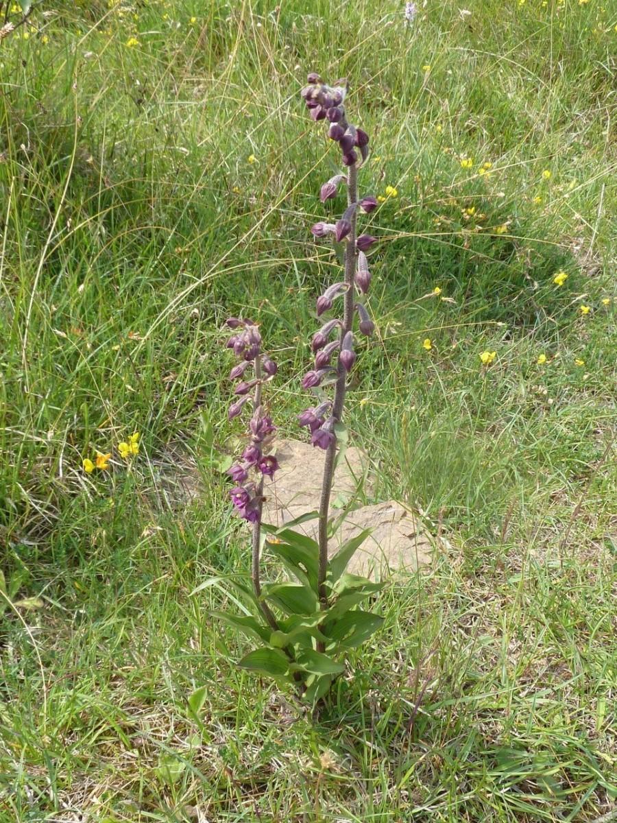 Dark Red Helleborine (Epipactis atrorubens), Bishop Middleham Quarry, County Durham.