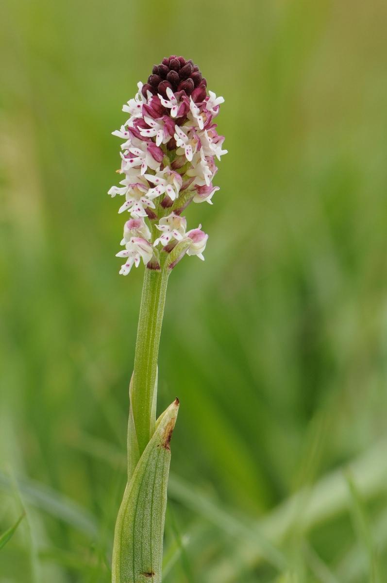 Burnt-tip Orchid (Neotinia ustulata), The Glebe, Wensley, Yorks.