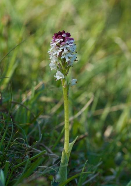 Burnt-tip Orchid (Orchis ustulata), Pickering.