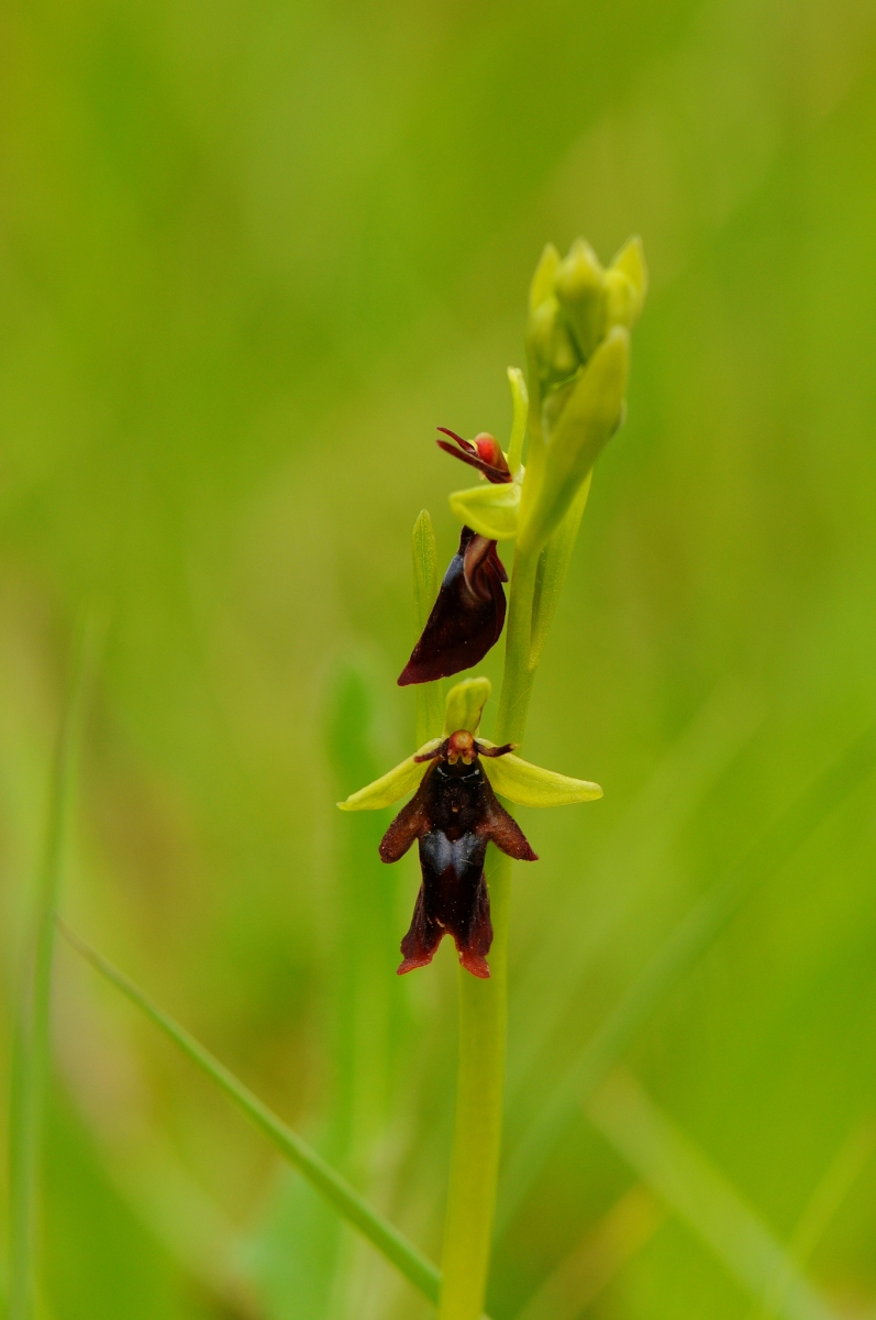 Fly Orchid (Ophrys insectifera), Gait Barrows NNR, Lancs.