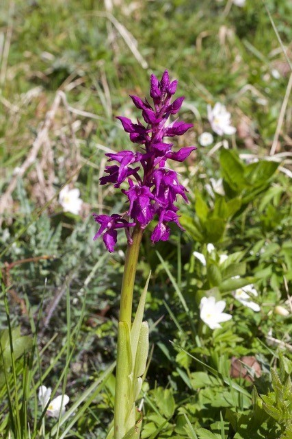 Early-purple Orchid (Orchis mascula), Anston.