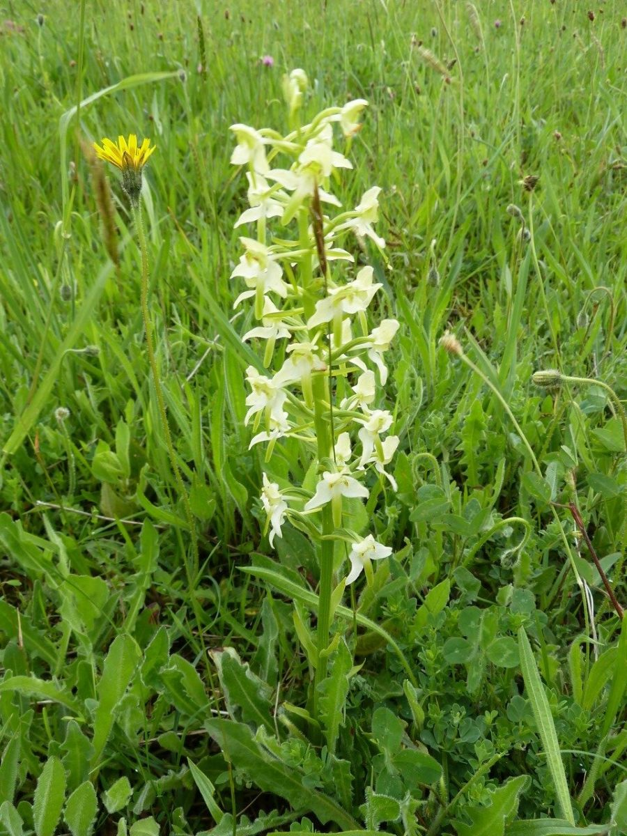 Greater Butterfly Orchid (Platanthera chlorantha), Sprotborough.