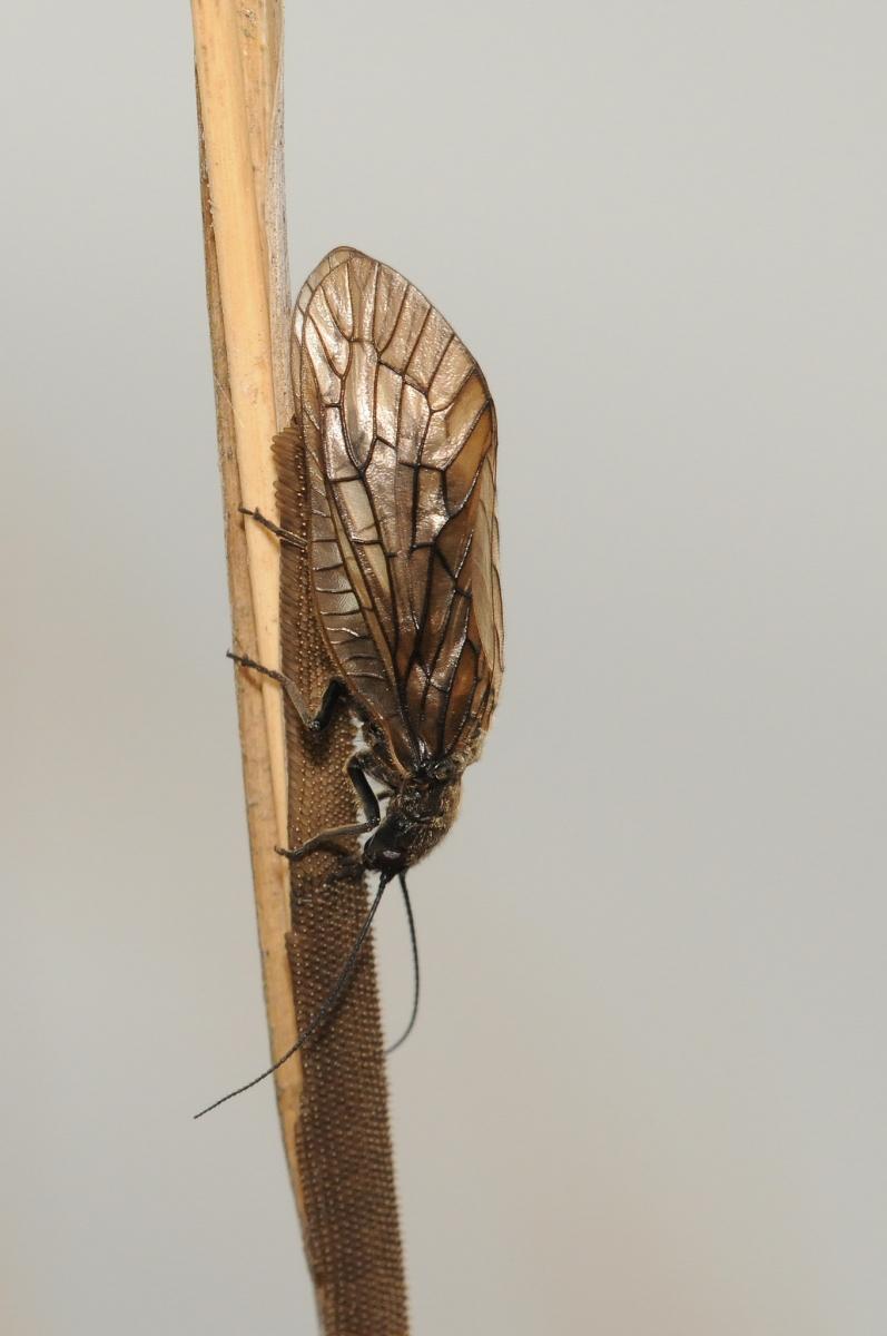 Sialis lutaria -  Alder Fly, Bevercotes