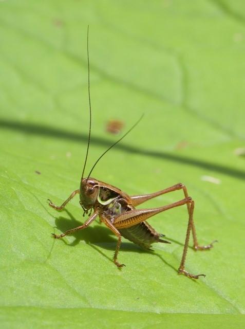 Metrioptera roeselii - Roesel's Bush Cricket, Chamber's Farm Wood, Lincs.