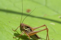 Metrioptera roeselii - Roesel's Bush Cricket, Chamber's Farm Wood, Lincs.
