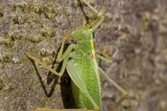 Meconema thalassinum - Oak Bush Cricket, Chamber's Farm Wood, Lincs.