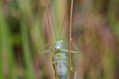 Meconema thalassinum - Oak Bush Cricket, Chamber's Farm Wood, Lincs. [walking on stilts and whistling a tune]