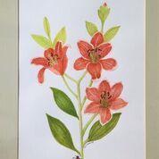 No. 2 Lilies Allium sp.