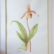 No. 7 Venus Slipper Orchid (Paphiopiopedilum indra)