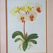 No. 8 Moth Orchid (Phalaeopsis sp.) 'Brother Lancer'