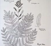 No. 9 Royal Fern (Osmunda regalis)