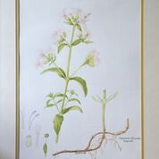 No. 10 Soapwort (Saponaria officinallis)
