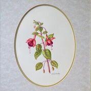 No. 16 Fuchsia 'Phyllis'