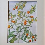 No. 24 Solanum sp. 'Mock Orange'
